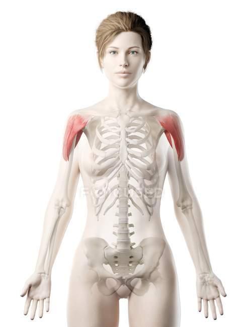 Modelo 3d de cuerpo femenino con músculo Deltoide detallado, ilustración por computadora . - foto de stock