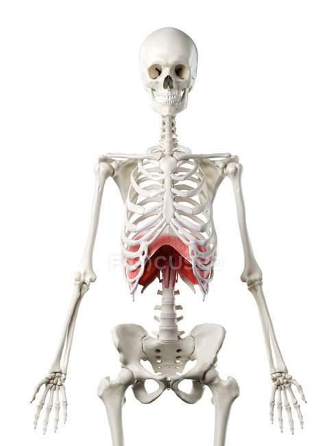 Diafragma en el cuerpo del esqueleto humano, ilustración digital . - foto de stock