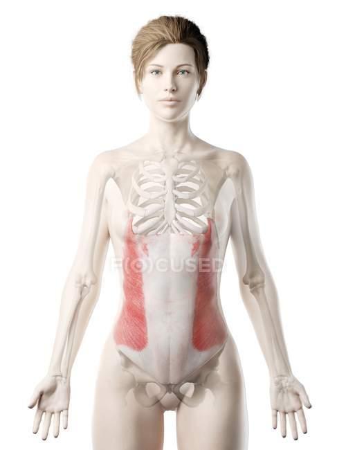 Modelo 3d de cuerpo femenino con músculo oblicuo externo detallado, ilustración por computadora . - foto de stock