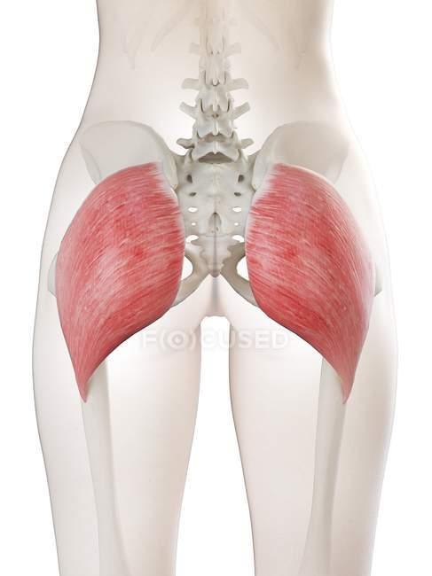 Modelo 3d de cuerpo femenino con músculo Gluteus maximus detallado, ilustración por computadora . - foto de stock