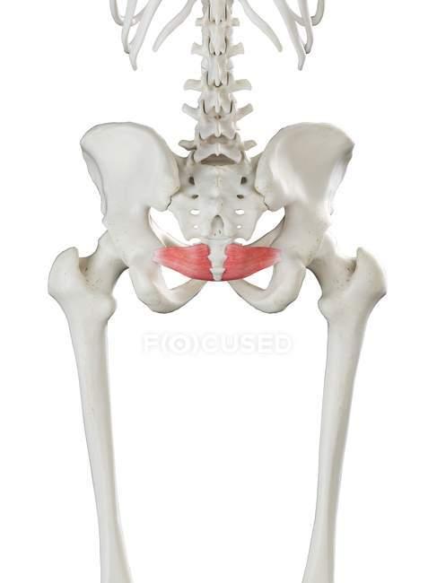 Esqueleto humano con músculo Iliococcígeo de color rojo, ilustración por computadora . - foto de stock