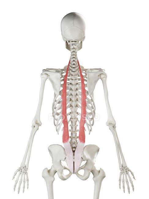 Esqueleto humano con músculo Iliocostalis de color rojo, ilustración por computadora . - foto de stock