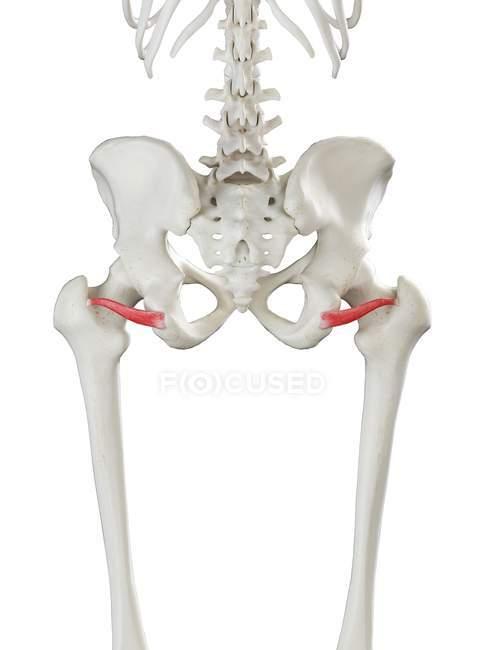 Esqueleto humano con músculo gemelo inferior de color rojo, ilustración por computadora . - foto de stock