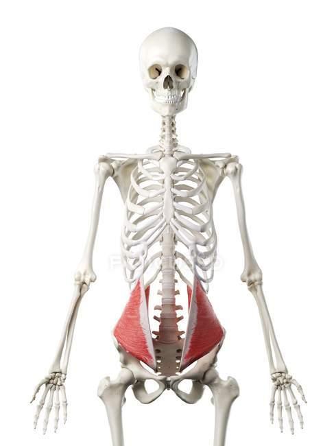 Esqueleto humano de color rojo Músculo oblicuo interno, ilustración por ordenador . - foto de stock
