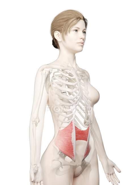 Modelo 3d de cuerpo femenino con músculo oblicuo interno detallado, ilustración por computadora . - foto de stock