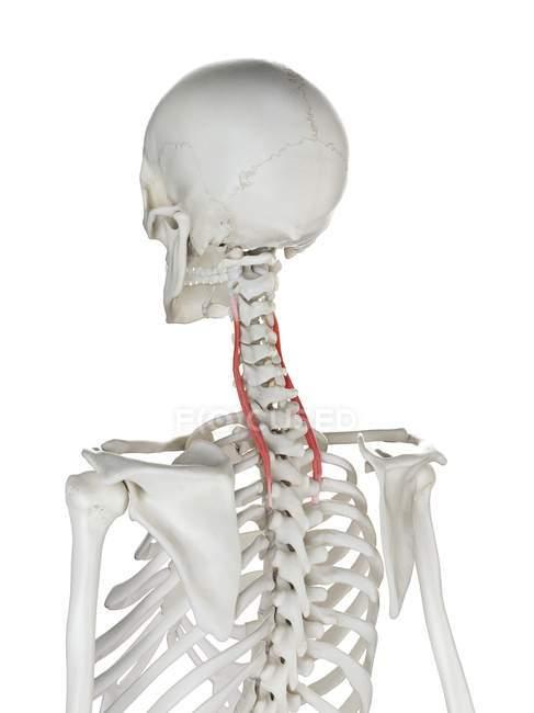 Esqueleto humano con color rojo Longissimus cervicis músculo, ilustración de la computadora . - foto de stock