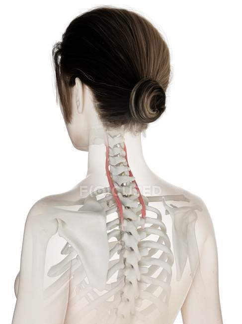 Female body model with detailed Longissimus cervicis muscle, digital illustration. — Stock Photo