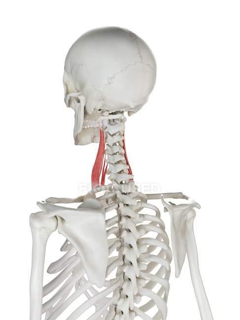 Modelo de esqueleto humano con músculo escaleno medio detallado, ilustración digital . - foto de stock
