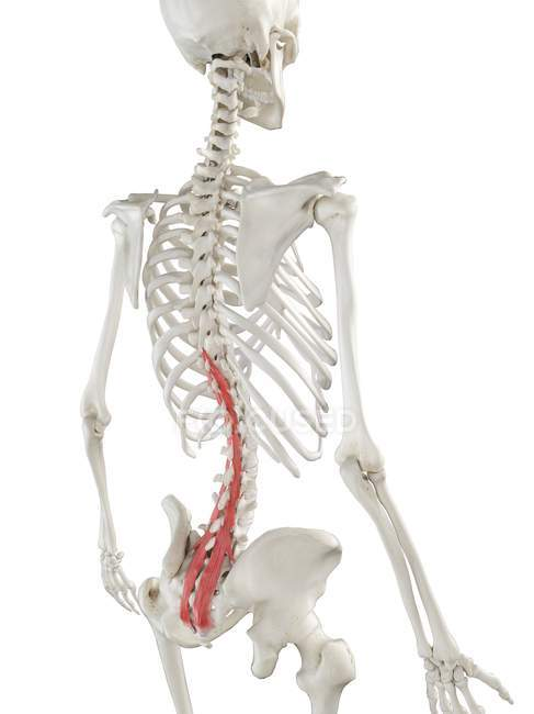 Modelo de esqueleto humano con músculo Multifidus detallado, ilustración digital . - foto de stock