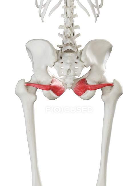 Modelo de esqueleto humano con músculo interno Obturador detallado, ilustración digital . - foto de stock