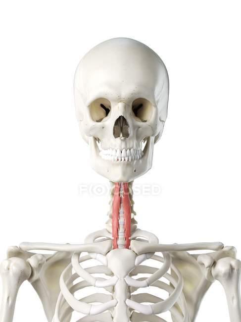 Modelo de esqueleto humano com músculo Longus colli detalhado, ilustração digital . — Fotografia de Stock