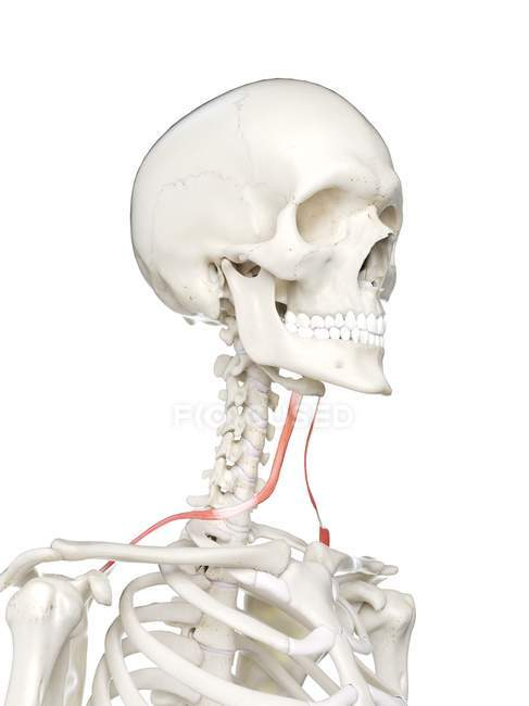 Modelo de esqueleto humano con músculo Omohyoid detallado, ilustración digital . - foto de stock