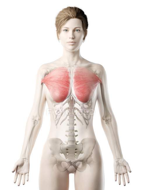 Female body model with detailed Pectoralis major muscle, digital illustration. — Stock Photo