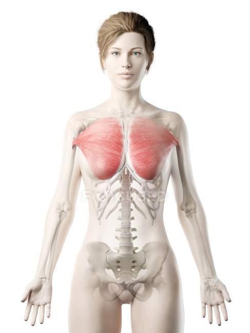Modelo de cuerpo femenino con músculo mayor Pectoral detallado, ilustración digital . - foto de stock