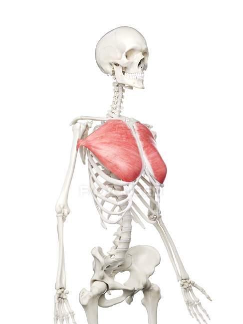 Modelo de esqueleto humano con músculo mayor Pectoral detallado, ilustración digital . - foto de stock