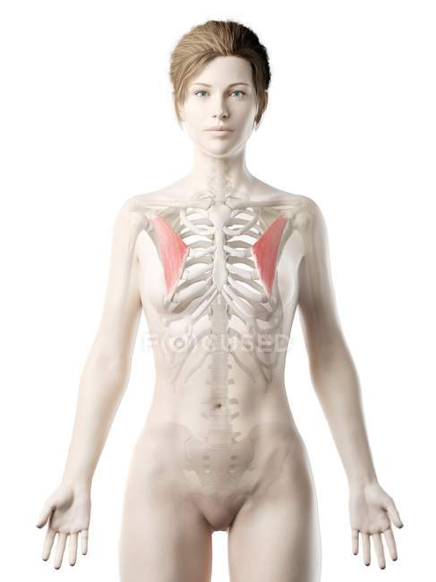Female body model with detailed Pectoralis minor muscle, digital illustration. — Stock Photo