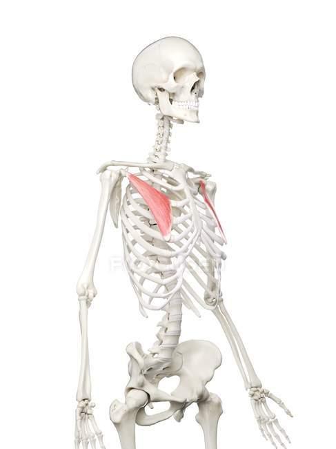Modelo de esqueleto humano con músculo menor Pectoralis detallado, ilustración digital . - foto de stock