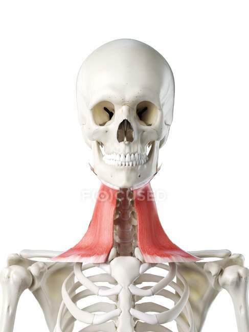 Modello di scheletro umano con muscolo Platysma dettagliato, illustrazione digitale . — Foto stock