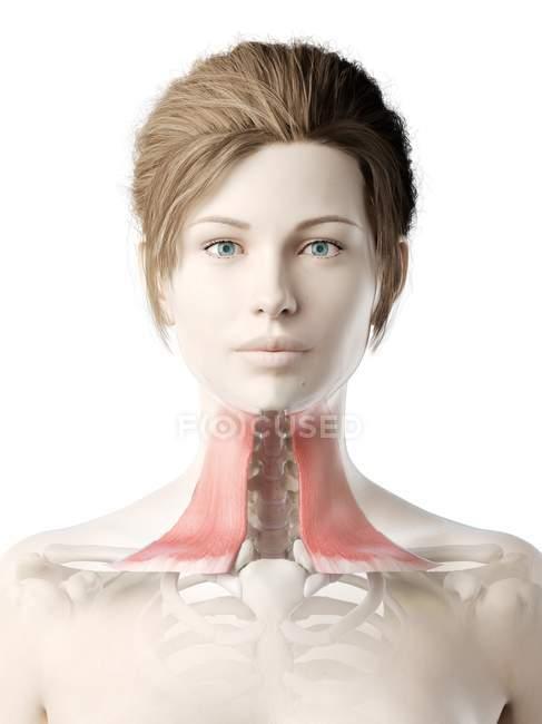 Modelo de cuerpo femenino con músculo Platysma detallado, ilustración digital . - foto de stock