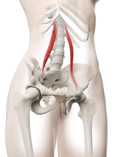Modelo de cuerpo femenino con músculo menor Psoas detallado, ilustración digital . - foto de stock