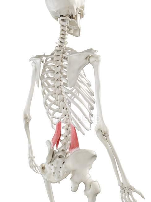 Modelo de esqueleto humano con músculo Quadratus lumborum detallado, ilustración digital . - foto de stock