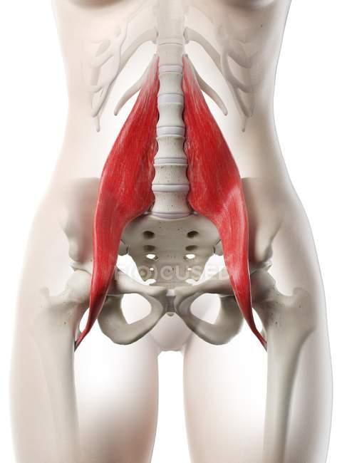 Modelo de cuerpo femenino con músculo mayor Psoas detallado, ilustración digital . - foto de stock