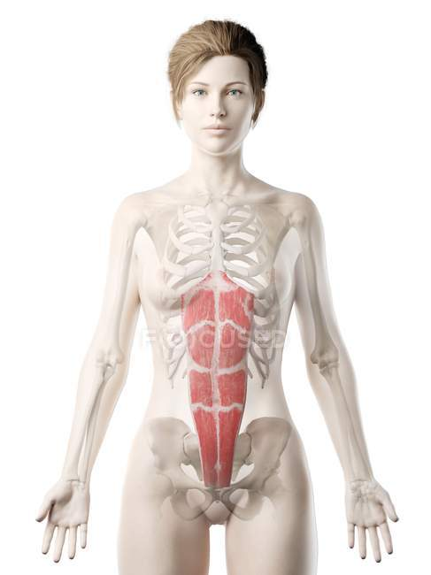 Modelo de corpo feminino com músculo reto abdominal detalhado, ilustração digital . — Fotografia de Stock