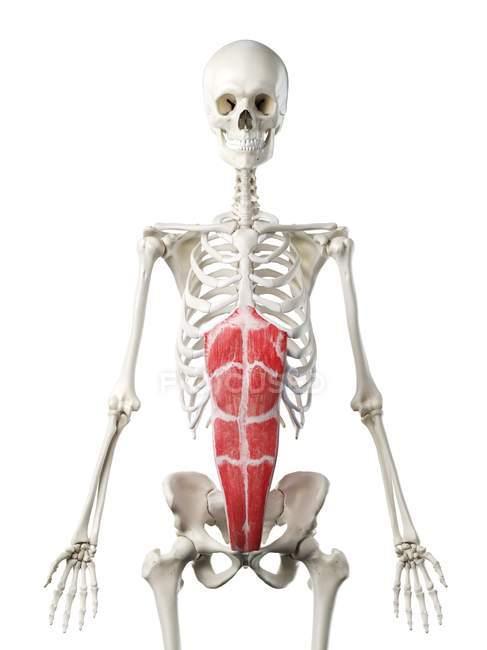 Modelo de esqueleto humano con músculo recto abdominal detallado, ilustración digital . - foto de stock