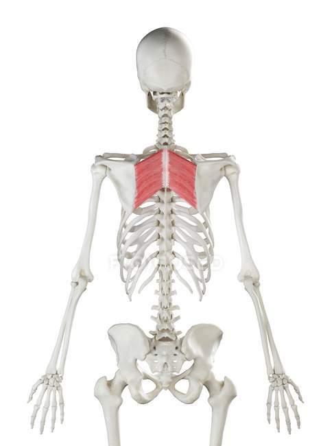 Modelo de esqueleto humano con músculo mayor romboide detallado, ilustración digital . - foto de stock
