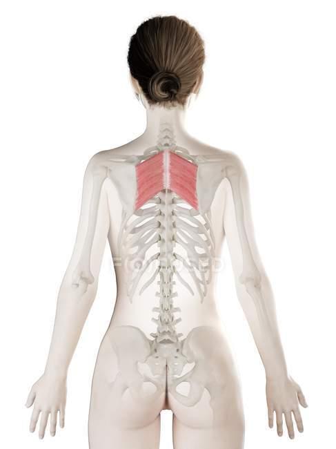 Female body model with detailed Rhomboid major muscle, digital illustration. — Stock Photo