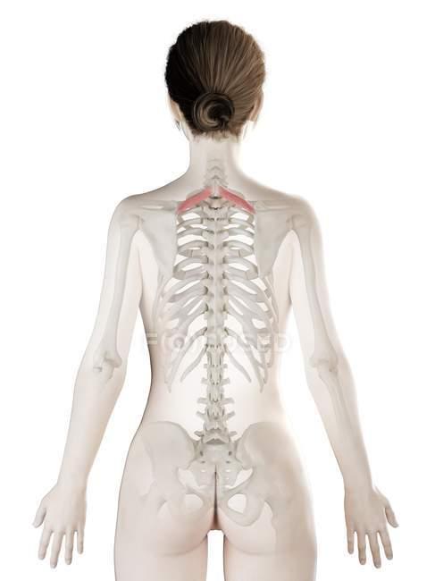 Modelo de cuerpo femenino con músculo menor romboide detallado, ilustración digital . - foto de stock