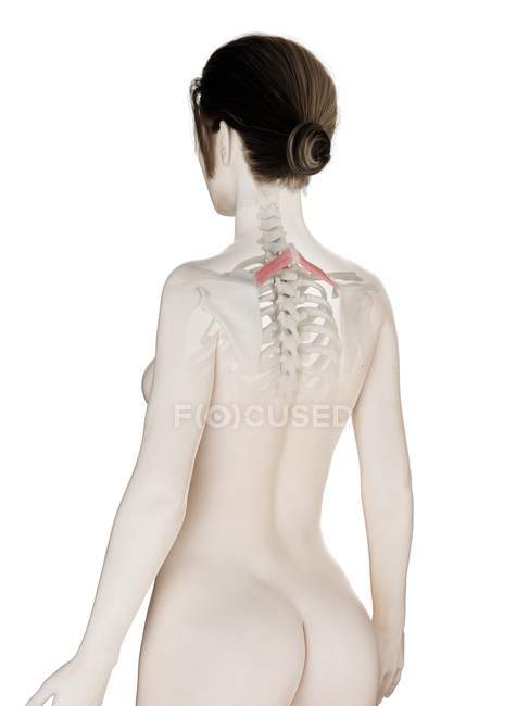 Female body model with detailed Rhomboid minor muscle, digital illustration. — Stock Photo