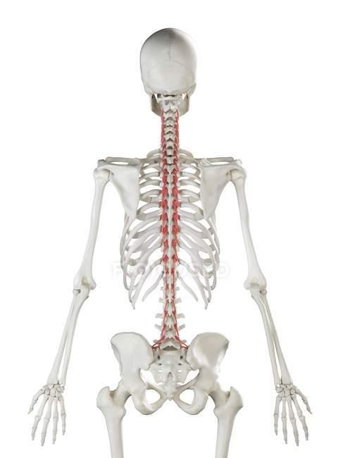 Modelo de esqueleto humano con músculo Rotatores detallado, ilustración digital . - foto de stock