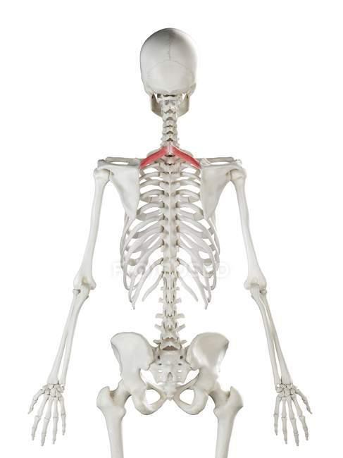 Esqueleto humano con músculo menor romboide de color rojo, ilustración por computadora . - foto de stock