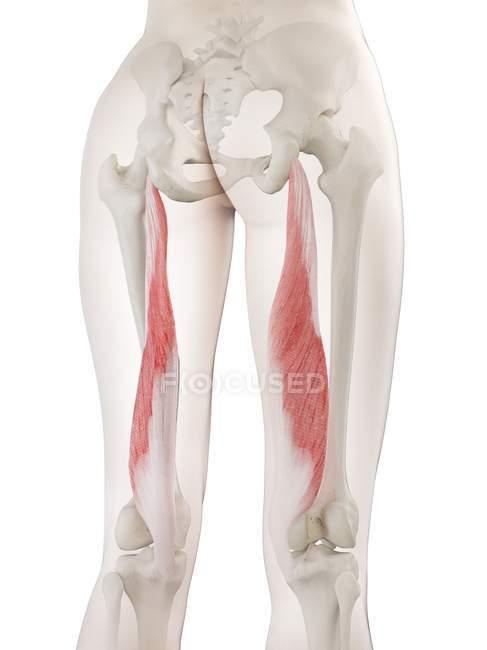 Модель женского тела с семимембранной мышцей красного цвета, компьютерная иллюстрация . — стоковое фото
