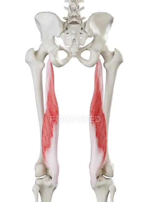 Esqueleto humano con músculo Semimembranosus de color rojo, ilustración por computadora . - foto de stock