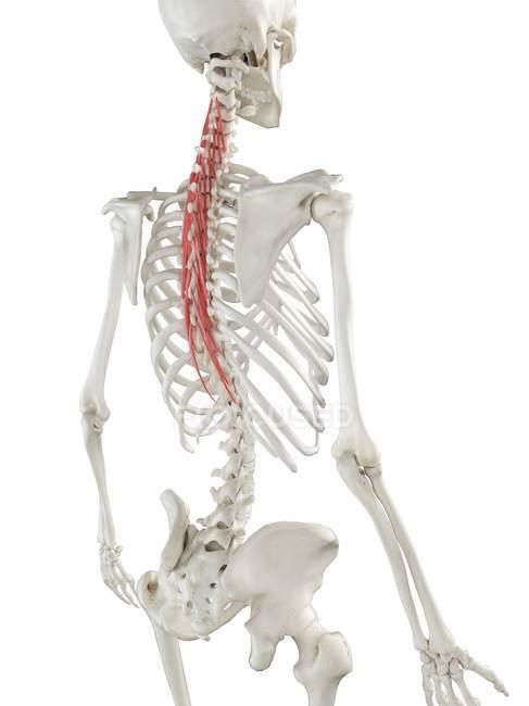 Esqueleto humano con músculo Semispinalis thoracis de color rojo, ilustración por ordenador . - foto de stock
