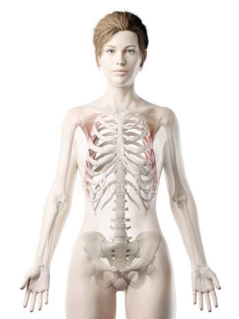 Modelo de cuerpo femenino con músculo anterior Serratus de color rojo, ilustración por ordenador . - foto de stock