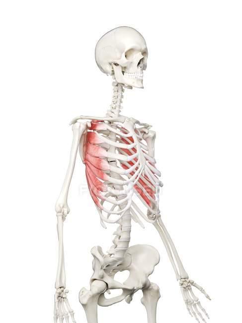 Esqueleto humano con músculo anterior Serratus de color rojo, ilustración por computadora . - foto de stock