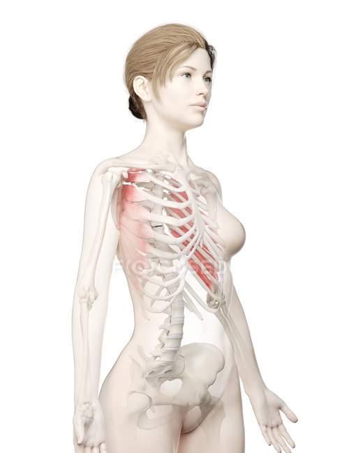Modèle de corps féminin avec le muscle antérieur de Serratus de couleur rouge, illustration d'ordinateur . — Photo de stock
