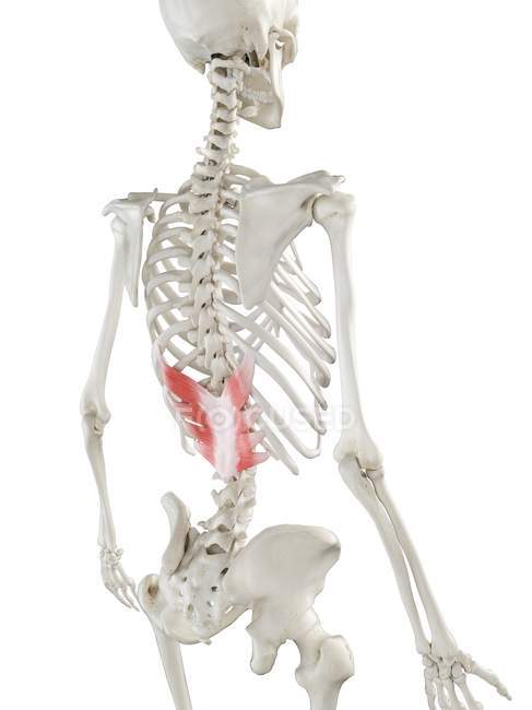 Esqueleto humano con músculo inferior posterior Serratus de color rojo, ilustración por ordenador . - foto de stock