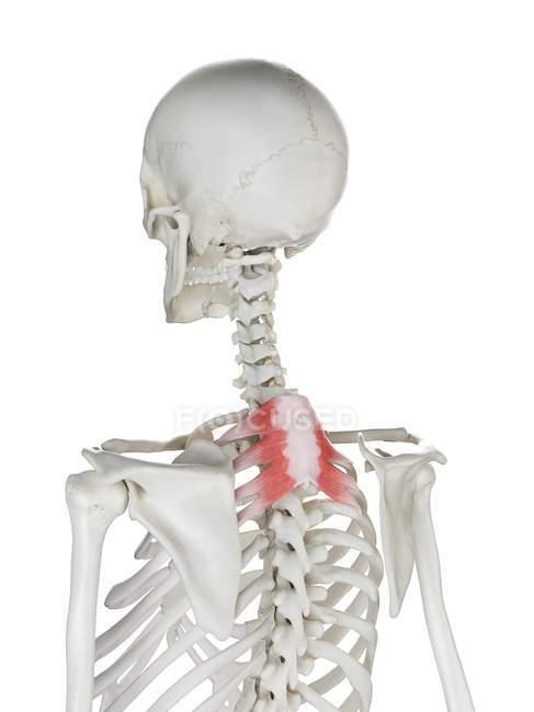 Esqueleto humano con músculo Serratus posterior superior de color rojo, ilustración por computadora . - foto de stock