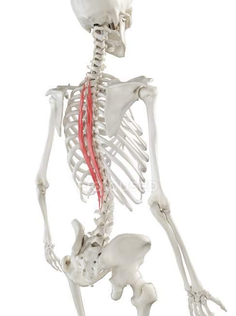Esqueleto humano con el músculo rojo de Spinalis thoracis, ilustración de la computadora . - foto de stock