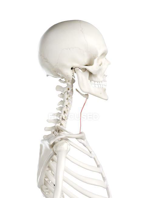 Esqueleto humano con músculo esternohioides de color rojo, ilustración por computadora . - foto de stock