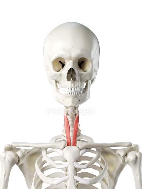 Esqueleto humano con el músculo esternotiroideo de color rojo, ilustración por computadora . - foto de stock