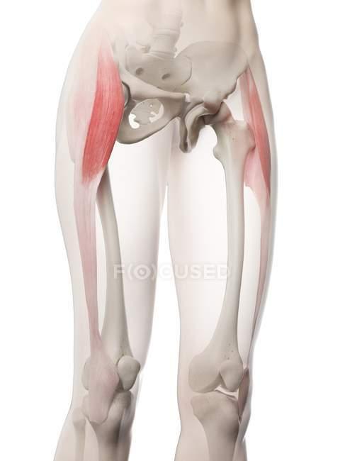 Жіноча модель тіла з червоним кольором Tensor fascia lata м'язи, комп'ютерна ілюстрація. — Stock Photo