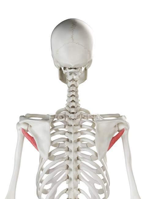 Esqueleto humano con Teres rojo de color menor músculo, ilustración por ordenador . - foto de stock