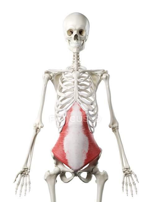 Esqueleto humano con músculo abdominal Transversus de color rojo, ilustración por computadora . - foto de stock