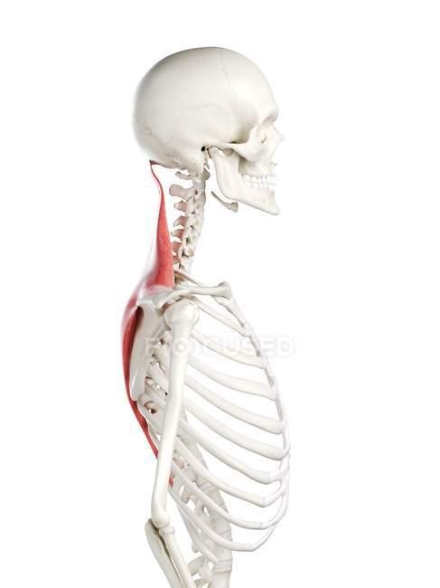 Esqueleto humano con músculo Trapezius de color rojo, ilustración por computadora . - foto de stock
