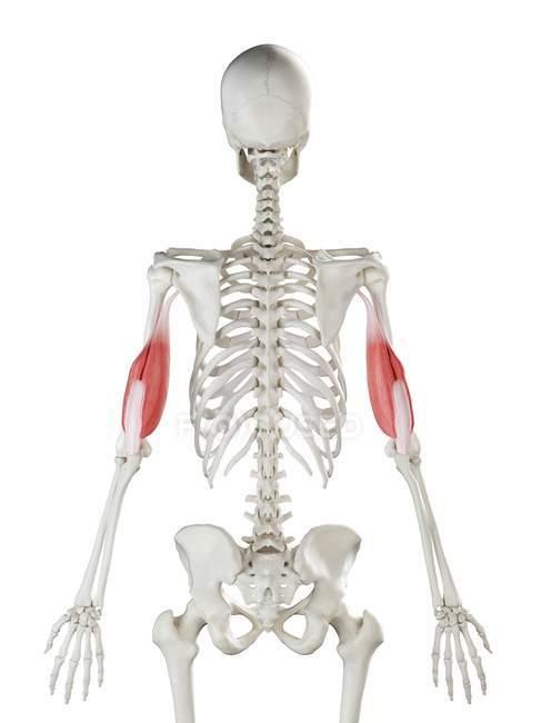 Esqueleto humano con tríceps de color rojo, ilustración por ordenador . - foto de stock